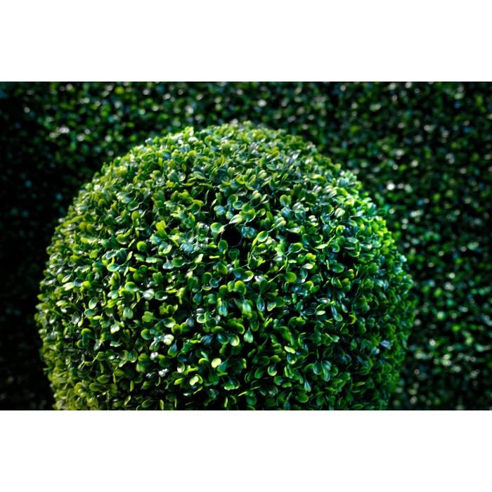 Самшит вечнозелёный в Калининграде